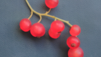 a sprig of red currants