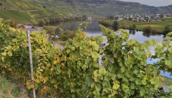 vineyard on the Mosel river